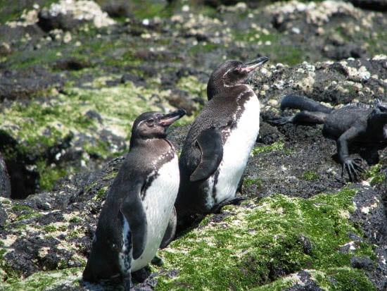 """""""Galapagos Penguin"""""""