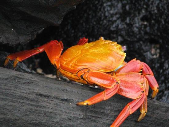 """Sally Lightfoot Crab"""