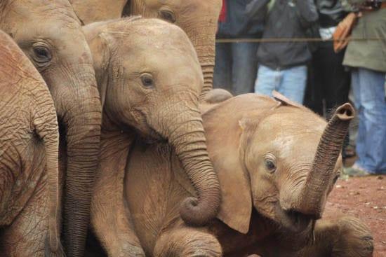 """Orphaned African elephants in Nairobi"""