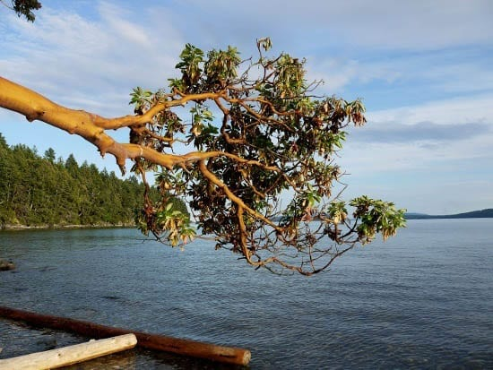 """Arbutus (Madrona) tree hanging over the water"""