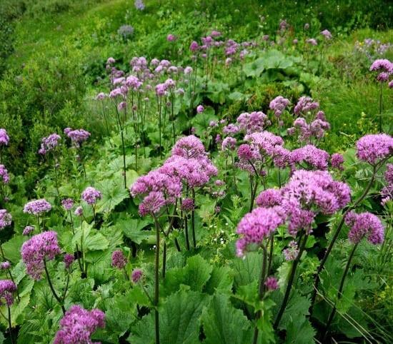"""""""Joe Pye Weed looking wildflowers that we saw in abundance"""""""