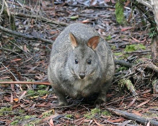 """Tasmanian Pademelon"""