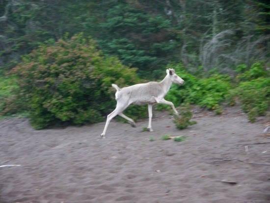 """A rare sighting of an albino woodland caribou"""