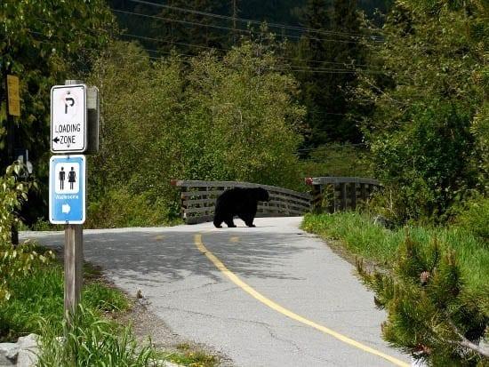 """A black bear wandering along the bike path"""
