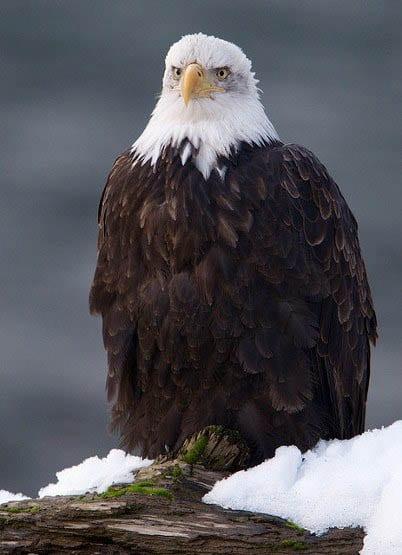 """""""Bald eagle in Brackendale"""""""