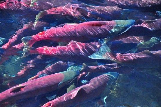 """Spawning Adam's River sockeye salmon"""