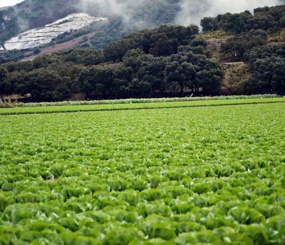 """""""Fields of lettuce'"""