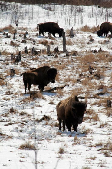 """Bison in Elk Island National Park"""