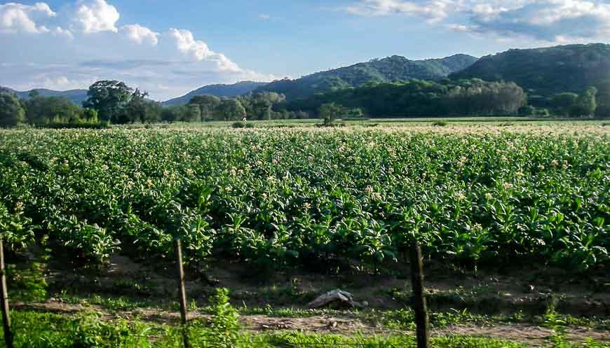 Miles of tobacco fields on the San Pedro to Salta bus ride