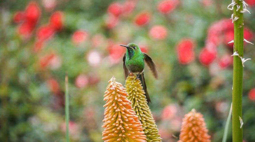 Dramatic hummingbird seen at Estancia de las Carreras