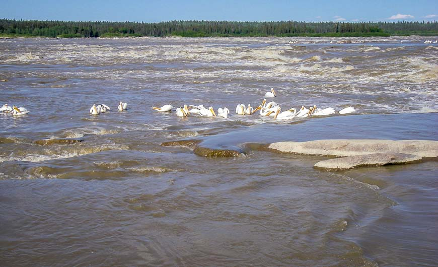 White pelicans in the rapids of Fort Smith, NWT