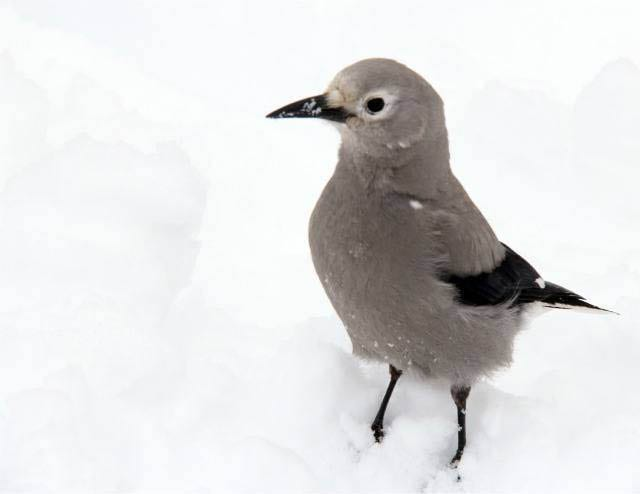 """A curious Clark's Nutcracker at the picnic tables"""