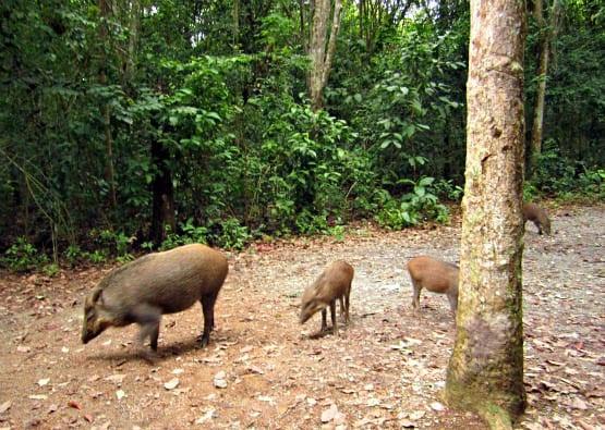 """Pulau Ubin wild boar family"""