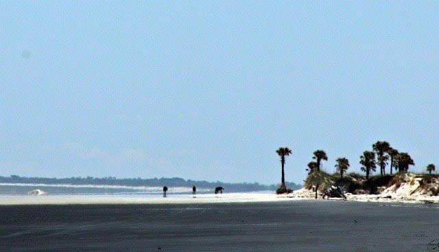 """Wild horses on the pristine white sand beaches of Cumberland Island"""