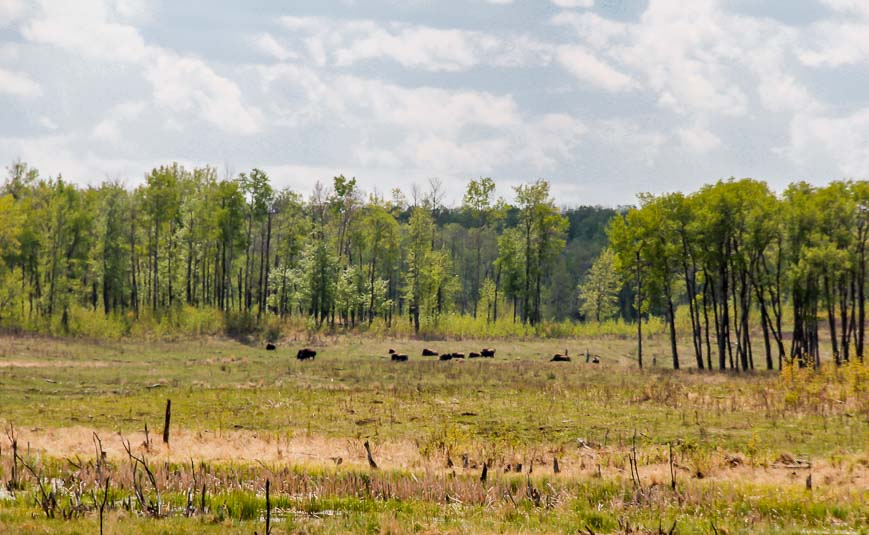 Bison off in the distance in Elk Island National Park