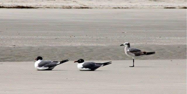 """Laughing gulls"""