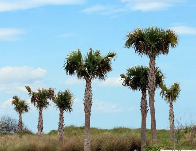 """Unusual looking palm trees"""