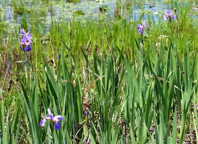 """""""Beautiful wild iris"""""""