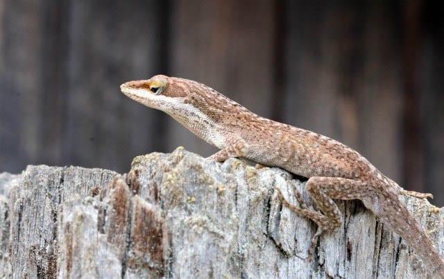 """""""Mystery lizard type #1"""""""