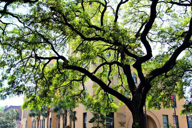 """Beautiful and huge live oak trees"""