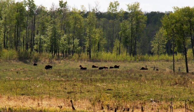 """""""Wood bison - unfortunately off in the distance"""""""