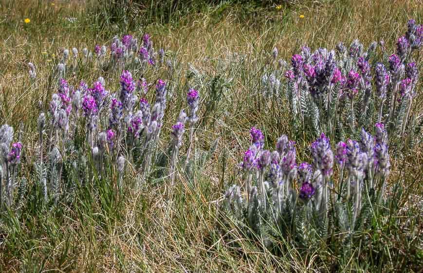 Beautiful wildflowers in Indian Peaks Wilderness