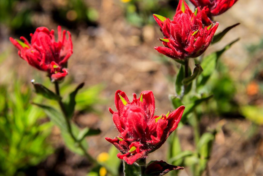 Indian paintbrush seen while hiking the devils thumb bypass