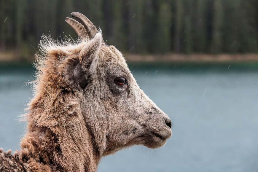 On the Lake Minnewanka hike you almost always see bighorn sheep