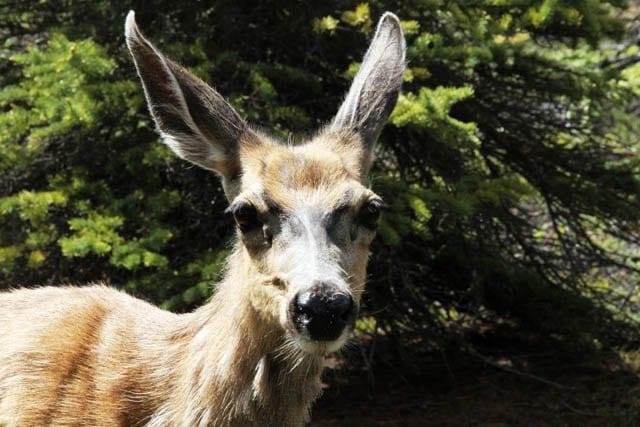 """The camp deer"""