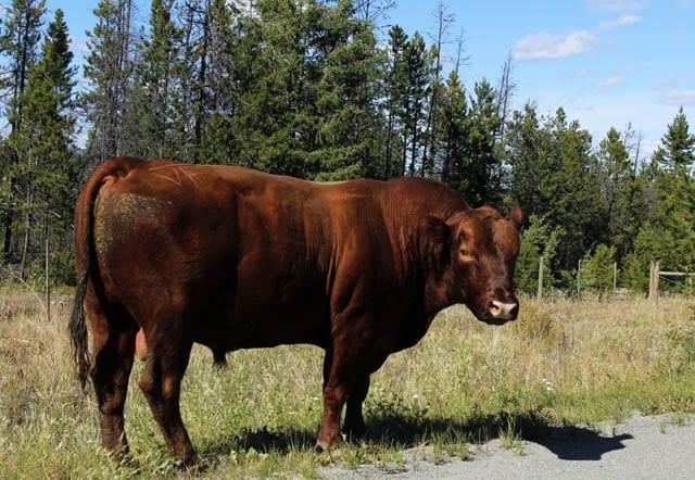 """""""Bull beside the highway"""""""