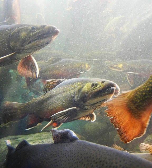 """Rainbow trout"""