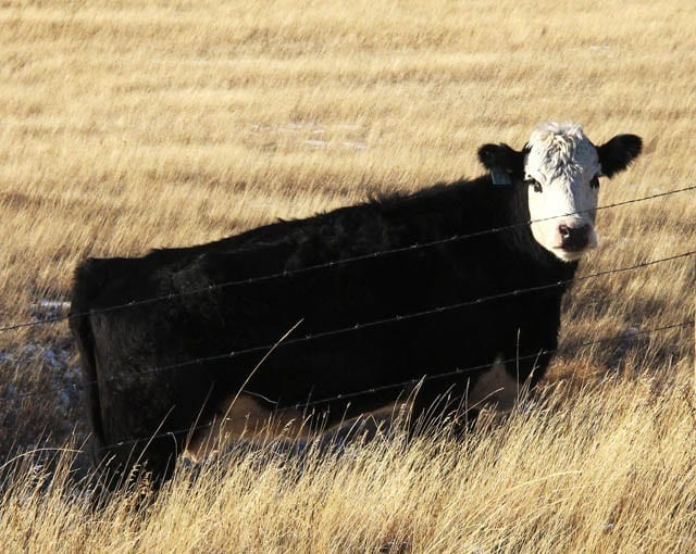 """""""Cow in winter along the Cowboy Highway"""""""