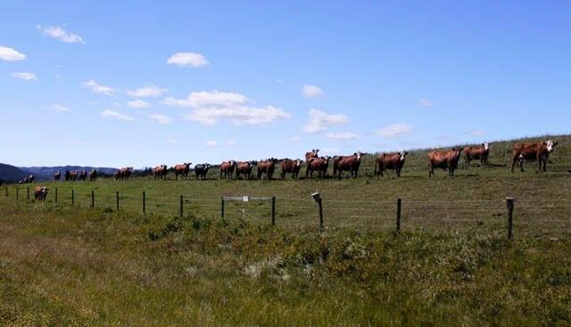 """No shortage of cows along the road"""