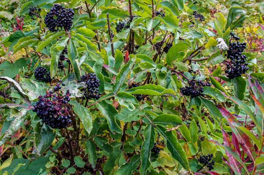 Lots of elderberries along the Carthew Alderson trail in September