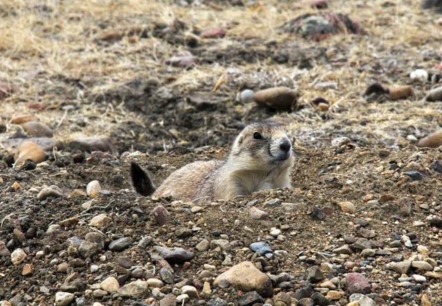 """Black tailed prairie dog"""