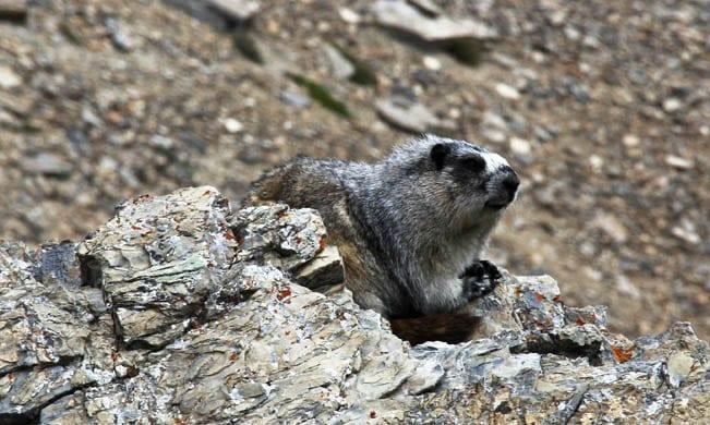 """Marmot along the way"""