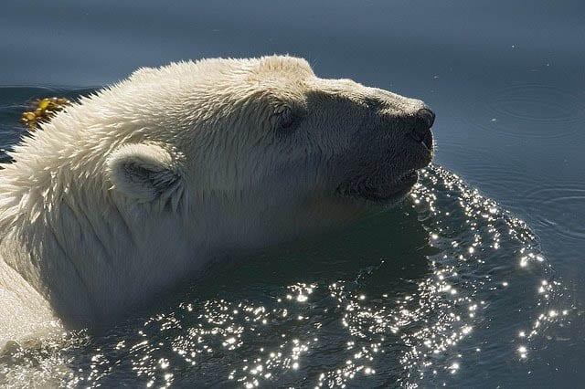 """Polar bear swimming in Wager Bay"""