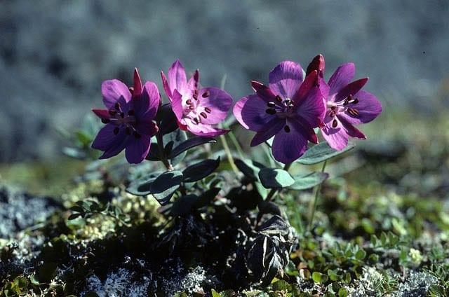 """""""Arctic flowers"""""""