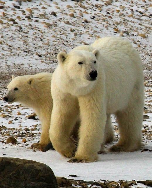 """Wapusk is home to polar bears"""