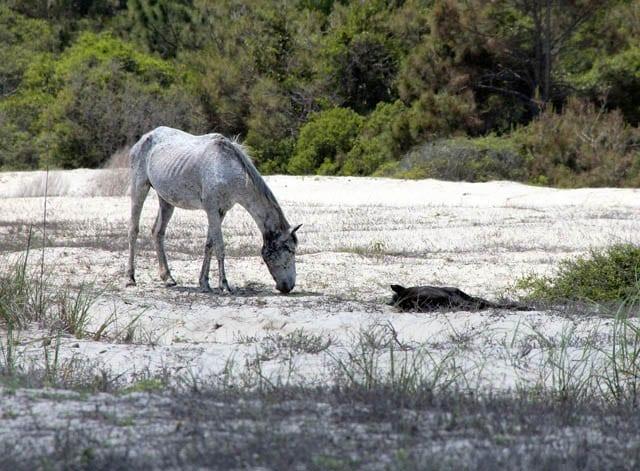 """The skinny wild horses of Cumberland Island"""