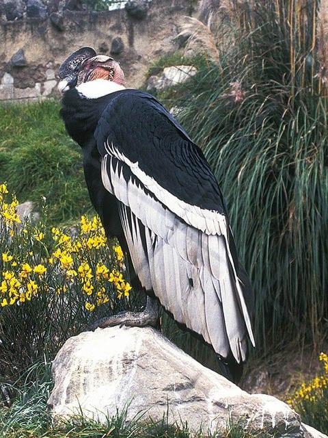 """""""Andean condor at Parque Condor above Otavalo"""""""