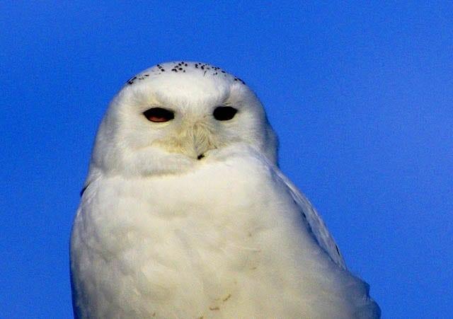 """The piercing eyes of a snowy owl"""