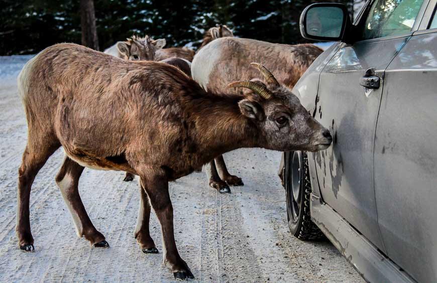 Wildlife in Banff