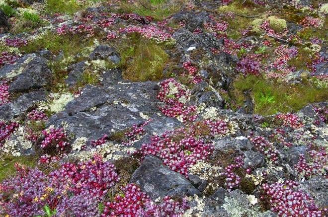 """Colourful sedum covers the rocks"""