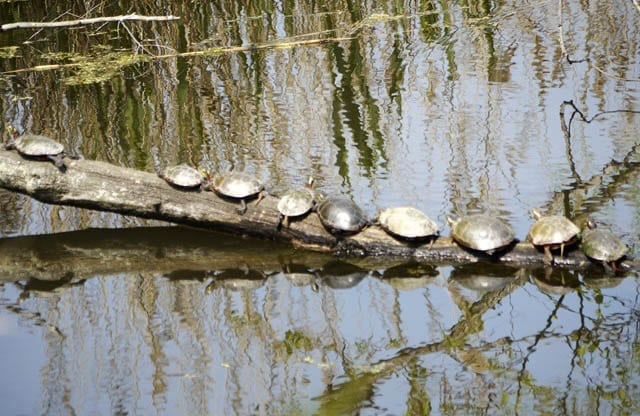 """Turtles sunning on a log on Pelee Island"""
