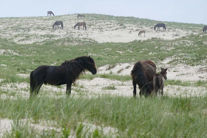 Stallion and harem on Sable Island Photo credit: Wikipedia