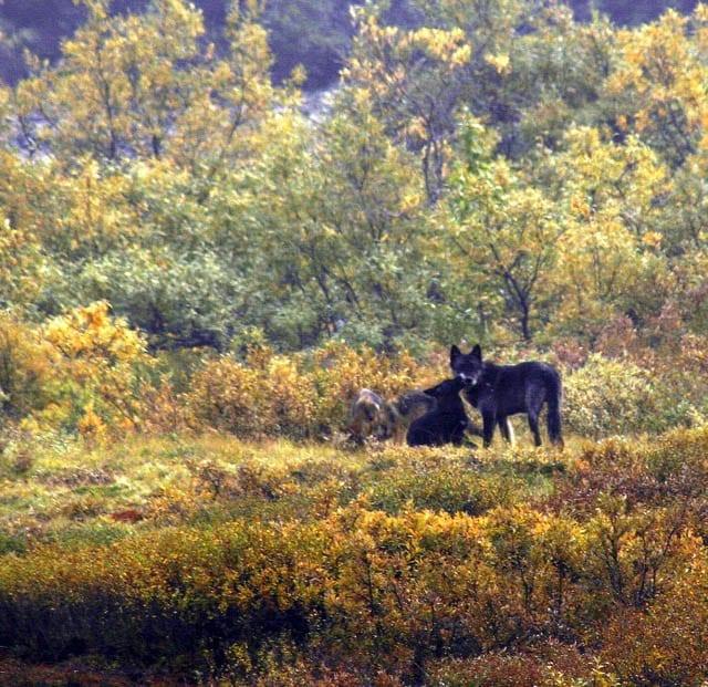 """Wolf pups"""