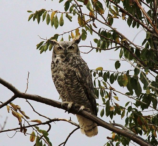 """Big eared owl"""