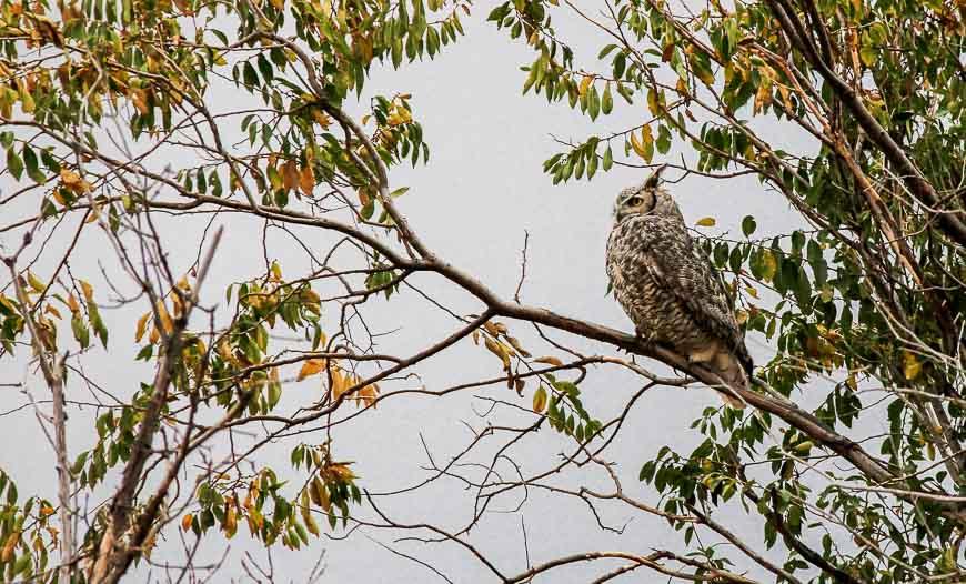 Big-eared owl perhaps??