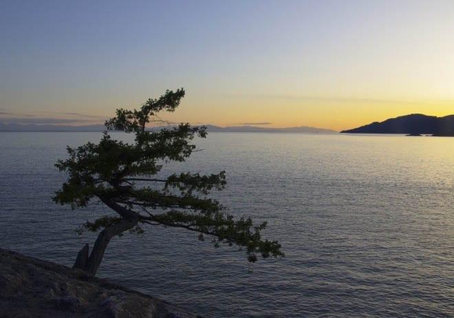 """Lone pine beside the Pacific Ocean"""